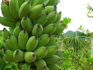 กล้วยน้ำว้า สมุนไพรไทย