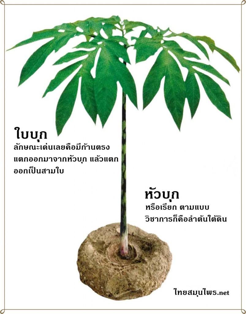 ลักษณะของต้น บุก แสดงให้เห็นส่วนประกอบคือใบบุก และหัวบุก