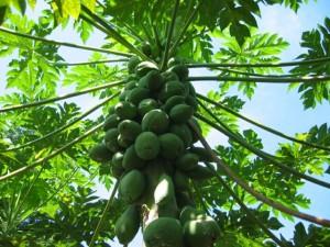 ลักษณะของ ต้นมะละกอ