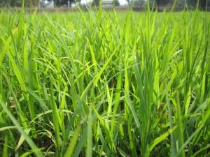 หญ้าคา
